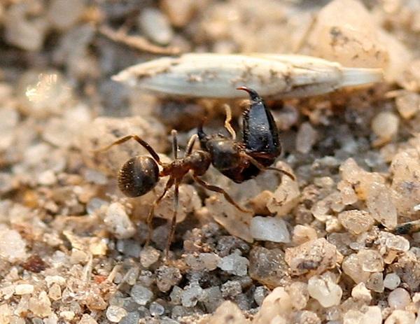독일 레겐스부르크대 생물학자들은 고동털개미(사진)들에게 붉은 색소와 푸른 색소를 섞은 음식(당분)을 제공하고 두 달여의 기간에 걸쳐 관찰한 결과 개미들이 흰색 회반죽 둥지 안의 구석진 곳에 배설물 더미를 쌓아 둔다는 사실을 사실을 밝혀냈다. <사진=위키피디아>