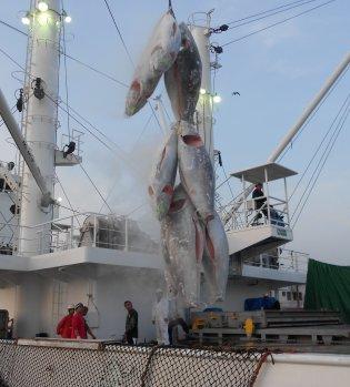 동원산업은 지난해 10월 3일 고위도(高緯度) 북대서양 참다랑어를 어획해 지난달 일본에 수출했다고 3일 밝혔다. 사진=동원산업 제공
