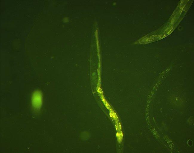 형광현미경으로 관찰한 예쁜꼬마선충, 서범석 제공