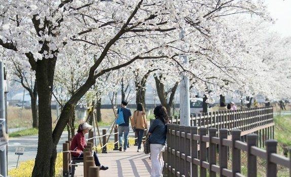 천안북면위례벚꽃축제 추진위원회는 오는 8일과 9일 천안시 동남구 북면 은석초등학교와 연춘리, 운용리 일원에서 '제5회 천안위례 벚꽃축제'를 개최한다. 사진=네이버 블러그 캡처