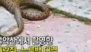 다람쥐 뱀 싸움..집요한 다람쥐에 뱀 줄행랑 치다 죽음 맞아