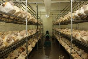 소양강영농조합법인, 주택 지하에서 버섯 재배하는 '수익형 귀농단지' 운영