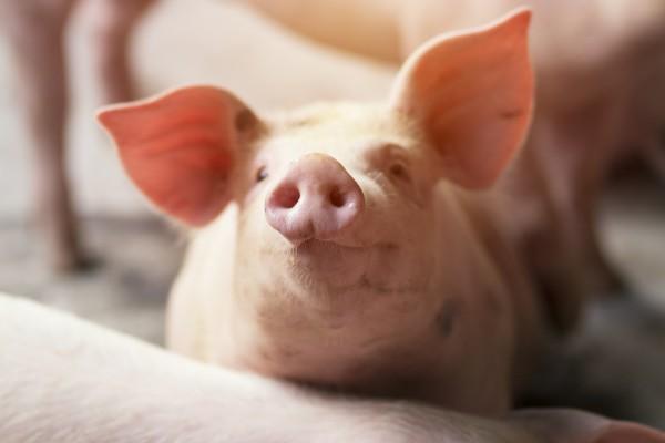 [심상대 장편소설]힘내라 돼지(50)...힘내라 돼지(마지막회)