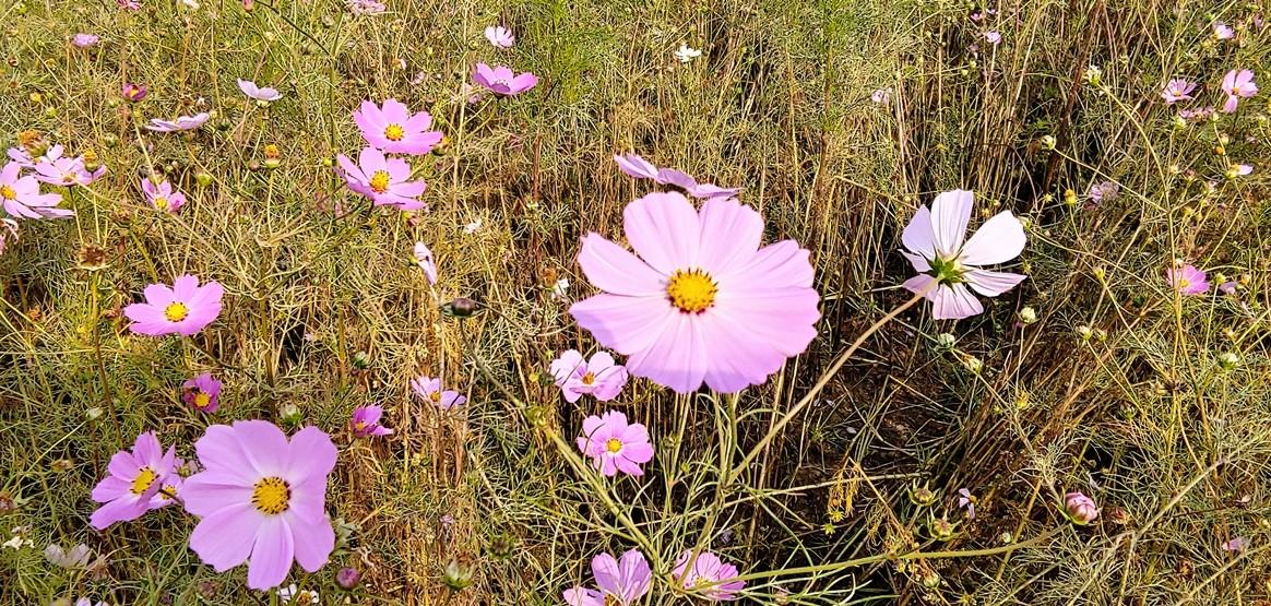 'AI 카메라' 모드에서 '꽃'을 테마로 인식한 상태에서 촬영한 코스모스. 바람도 세고 다소 흐린 날이었지만, 놀라운 사진을 얻었다.