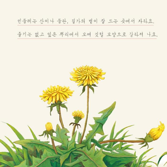 [카드뉴스] 민들레