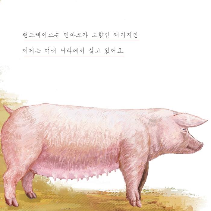 [카드뉴스] 돼지