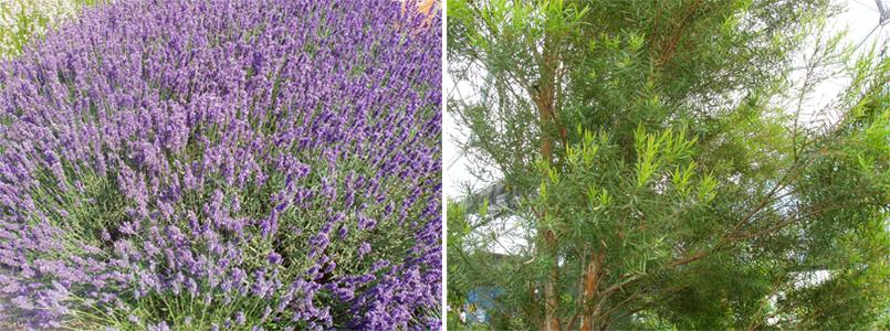 라벤더와 티트리 나무 이미지