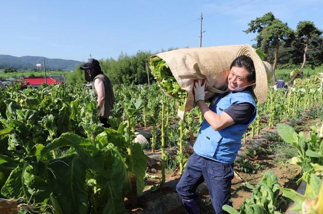 KT&G 원료본부 및 김천공장 임직원들은 13일 김제시 봉남면의 잎담배 농가를 방문해 수확 봉사활동을 진행했다.