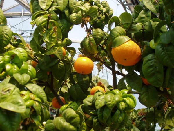 오렌지 나무 이미지
