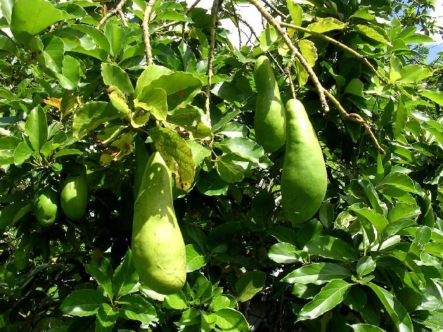 아보카도 나무 이미지