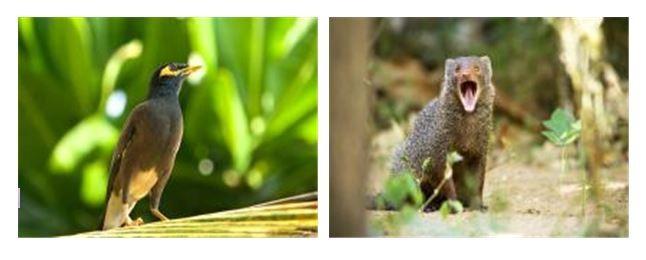 생태계 위해성이 확인된 검은목갈색찌르레기와 작은몽구스(사진=환경부 제공)