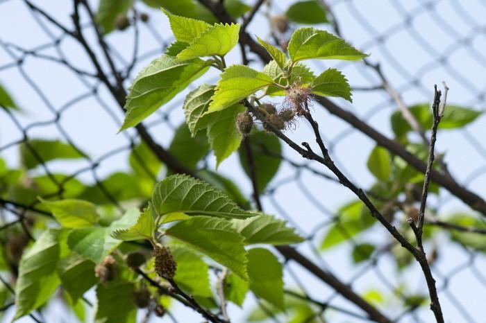 닥나무 꽃(제공:국립산림과학원)