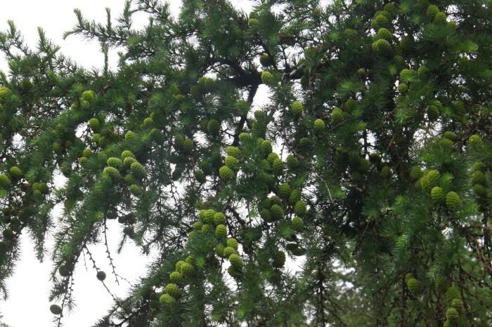 주요 조림수종인 충주 채종원의 낙엽송 구과(제공:국립산림품종관리센터)