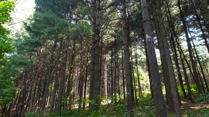 스트로브잣나무 조림지(제공:국립산림과학원)