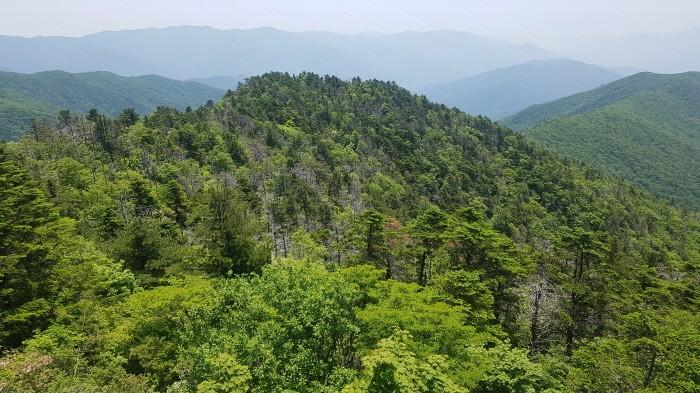 지리산 구상나무(제공:국립산림과학원)