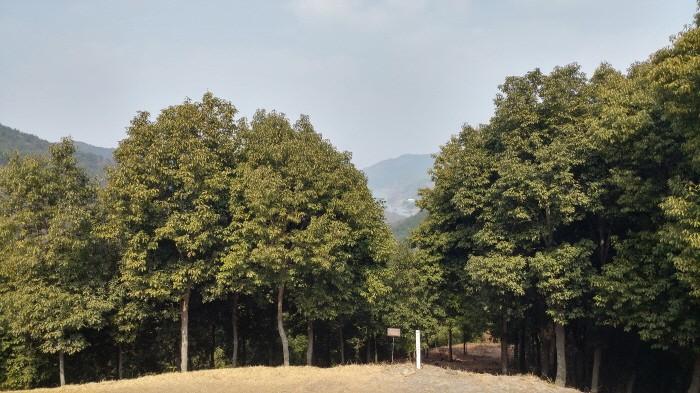 종가시나무 군락(제공:국립산림과학원)