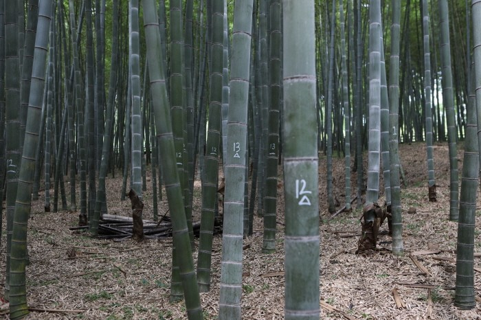 대나무(제공:국립산림과학원)