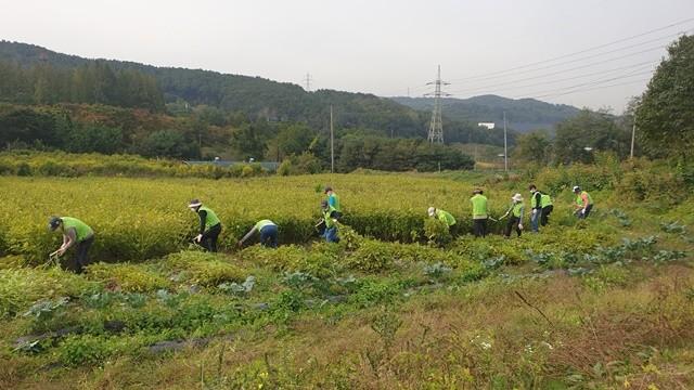 14일 경기도 의왕시 고천동 왕림마을에서 진행된 영농철 농촌일손돕기 활동에서 임직원들이 들깨를 수확하고 있다. 사진 = NH농협은행