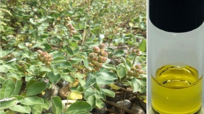 순비기나무 열매 정유, 천식에 효과 만점