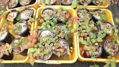 토종 블루베리 정금나무, 대량생산 기술 개발