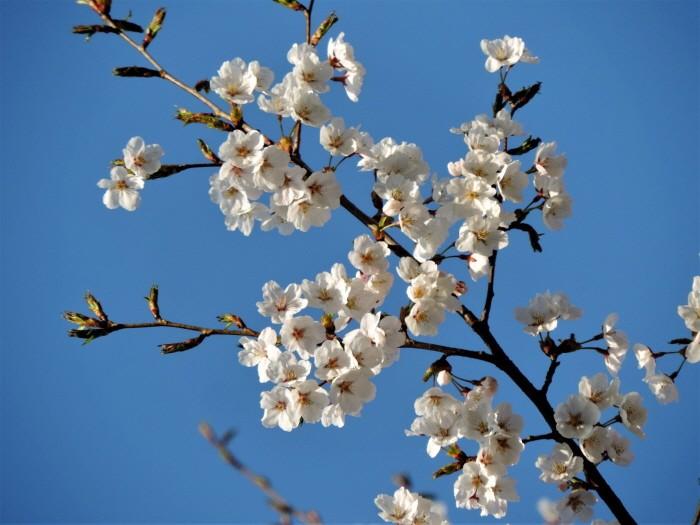 올벚나무(제공:국립수목원)