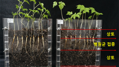 인삼뿌리썩음병 '덜 발생하는 토양' 쉽게 찾는다