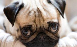 얼굴 평평한 강아지 고통속에 사는 까닭?