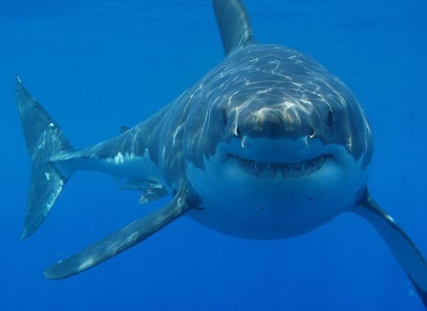 상어들 가운데에서도 가장 난폭하다는 백상아리. 평균 무게가 2.3톤. 수면위로 최고 3미터까지 뛰어오를 수 있다. 사진=위키피디아