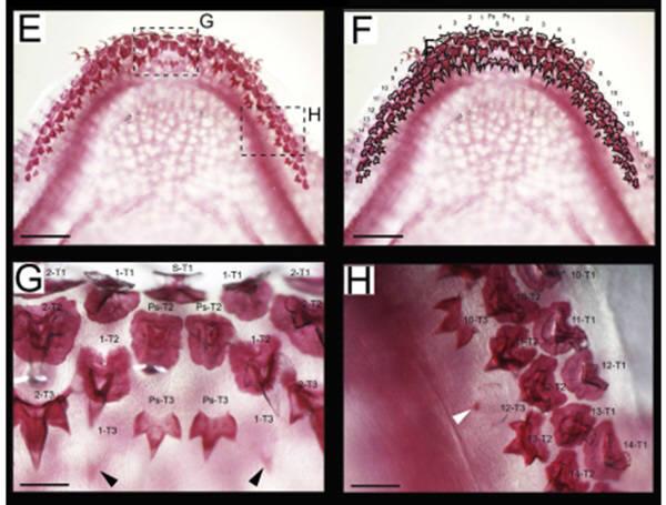 셰필드대 연구진은 상어이빨의 발달과정을 연구, 이빨이 다시 자라게 하는데 관여하는 400개의 유전자를 발견했다. 사진=발달생물학