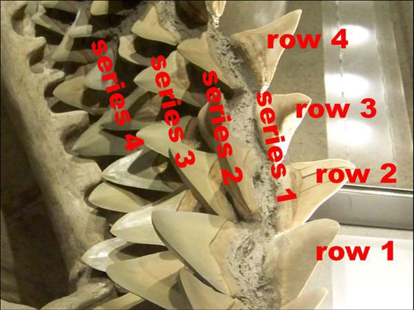 역사상 최대의 괴물상어였던 메갈로돈의 이빨. 2천600만년전에 생존했었다. 사진=위키피디아