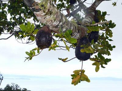 `필리드리스 나가사우` 개미가 키우고 서식하는 스쿠아멜라리아 식물