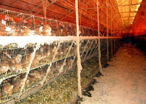 가축들의 면역력을 개선하려면 보금자리부터 개선해야 한다.(출처:서울환경연합)