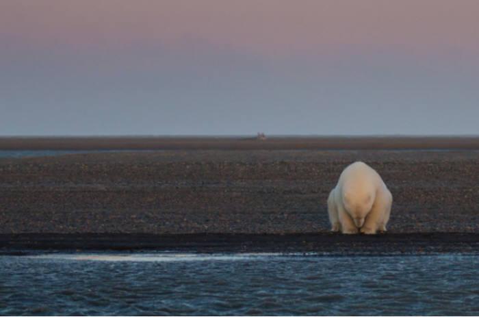 눈과 얼음이 사라진 북극에서 생존의 위협을 맞은 북극곰(출처:pattywaymire.com)