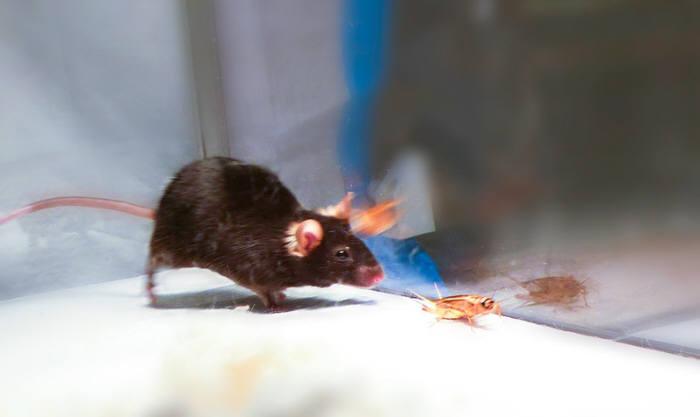 레이저 자극으로 곤충을 쫓는 쥐(사진 = 이반 데 아라우주 / 셀)