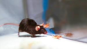 쥐 뇌 속 `킬러 스위치` 발견