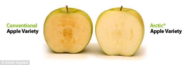 갈변현상이 생기는 일반사과(왼쪽)과 갈변현상이 나타나지 않는 슈퍼사과.