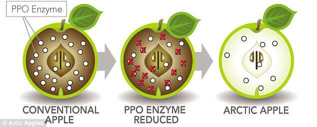 PPO를 침묵시킨 유전자 변형 사과