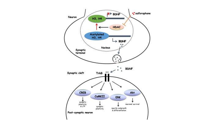 <뇌유래신경성장인자(BDNF) 유전자를 발현시키는 설포라판의 신경세포 내 약리 메커니즘> 설포라판은 히스톤탈아세틸효소(HDAC)의 억제제로 작용해 후성유전적인 조절 메커니즘으로 뇌유래신경성장인자(BDNF) 유전자의 발현을 조절하고 시냅스 관련 분자물질 TrkB의 활성을 유도한다. 설포라판은 히스톤탈아세틸효소(HDAC)의 활성을 억제하고 핵단백질 히스톤의 아세틸화를 유도하여 뇌유래신경성장인자(BDNF)의 발현을 증가시키고 BDNF-TrkB 신호전달경로를 활성화한다. BDNF-TrkB 신호전달을 통해 활성화된 ERK는 신경세포의 분화 및 성장, Akt는 신경세포의 생존을 촉진하며, CaMKII와 CREB은 시냅스가소성(synaptic plasity)과 장기강화현상(long-term potentiation, LTP)를 유도한다. 따라서 설포라판은 뇌유래신경성장인자(BDNF) 결핍으로 유도되는 치매와 같은 신경계질환들에서 후성유전적으로 뇌유래신경성장인자(BDNF)를 증가시켜 신경계의 손상을 보호할 가능성이 있다.