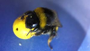 꿀벌도 공놀이 할 수 있다