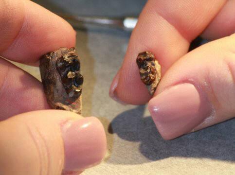 비고온기 아레나히푸스 화석(왼쪽)과 ETM2 고온기 아레나히푸스 화석 (사진=뉴햄프셔대)