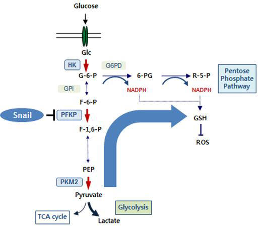 <Snail-PFKP 축에 의한 전이 암세포의 대사조절 도식도> 스네일은 해당작용(glycolysis)의 첫 번째 율속단계(rate-limiting step)를 결정하는 효소인 혈소판 타입 포스포프룩토키나아제 (PFKP)를 전사억제시킨다. 이는 당대사의 흐름을 호기성 해당작용에서 5탄당 인산경로 방향으로 바꾼다. 이 과정에서 암세포는 환원제인 니코틴아마이드 아데닌디 뉴클레오티드 인산의 환원형(NADPH)를 확보하고 활성산소를 제거해 산화 스트레스를 극복하고 생존을 증강시킨다. 붉은 화살표는 해당 작용에서 비가역적 단계를 표시한 것이다.