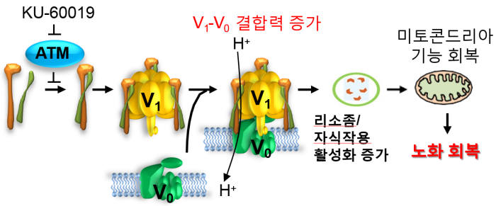 vATPase는 생체 고분자의 분해 및 오토파지를 담당하는 세포 내 소기관인 리소좀 막에 위치해 리소좀의 활성 조절에 관여한다. 세포의 노화가 진행되면 ATM 단백질에 의한 vATPase의 인산화가 증가하고, 이 결과 vATPase를 구성하는 단위체 간의 결합력이 약화돼 리소좀의 기능이 저하됨을 확인했다. KU-60019는 ATM 단백질의 인산화 활성을 억제해 vATPase의 인산화 감소를 통해 리소좀의 활성 증가 및 자식작용을 유도하고, 미토콘드리아의 기능 회복을 유도해 노화세포의 기능을 회복한다.