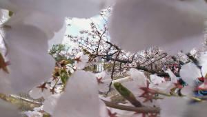 벚꽃 구름 걷기