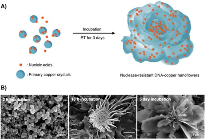 KAIST는 DNA에 구리 이온을 직접 반응시켜 높은 성능의 '나노 꽃' 구조체를 만드는데 성공했다. 사진은 나노 꽃 구조의 제작결과 모습.