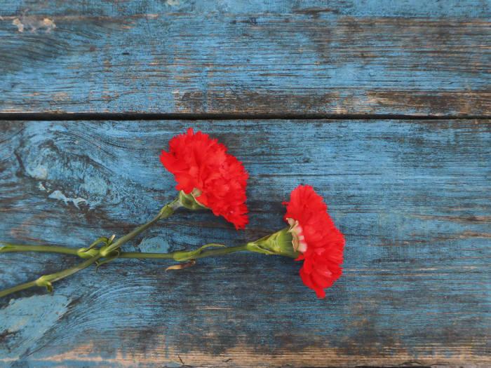 카네이션은 감사의 상징이다. (출처: Shutterstock)
