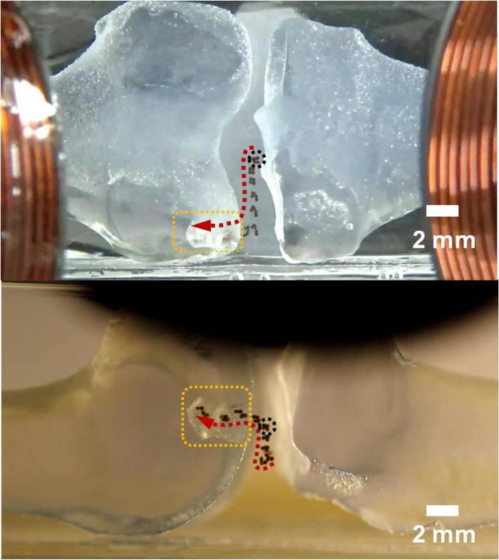 마이크로의료로봇센터가 개발한 관절연골 치료용 줄기세포 마이크로로봇이 손상된 연골세포로 이동하고 있는 모습.