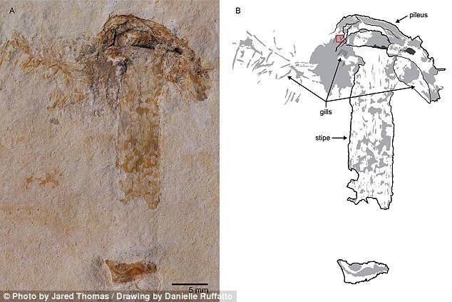브라질에서 발견된 세계에서 가장 오래된 버섯 화석.