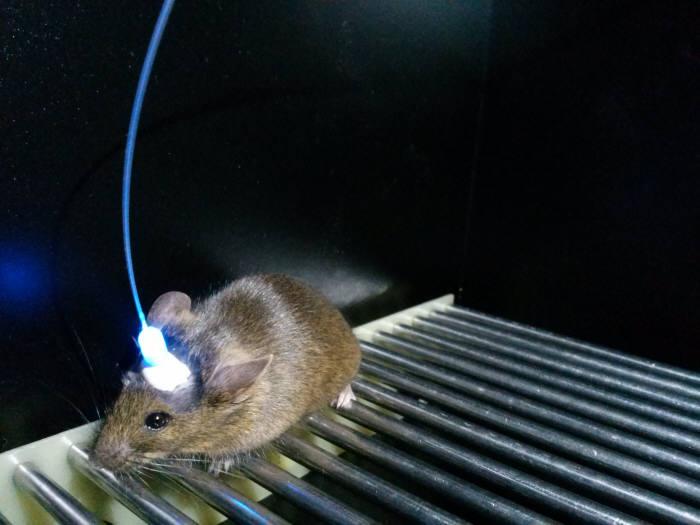 KAIST가 개발 중인 퇴행성 뇌질환 극복시스템 실험 장비를 쥐의 뇌에 연결한 모습.