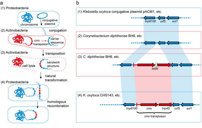 항생제 내성 유전자가 인체 감염균에 전달되는 '캐리백' 메커니즘을 도식화 한 그림.