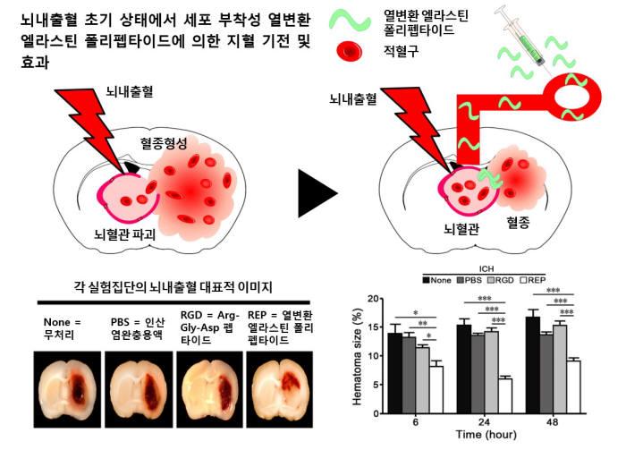 뇌출혈을 지혈할 수 있는 열변환 엘라스틴 폴리펩타이드 단백질의 지혈 기전 및 효과에 대한 모식도.